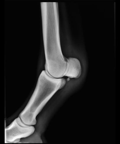 Radiography of the equine fetlock